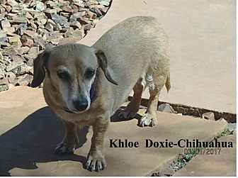 Dachshund/Chihuahua Mix Dog for adoption in Tucson, Arizona - Khloe