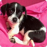 Adopt A Pet :: CADENCE - Katy, TX