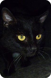 Domestic Shorthair Cat for adoption in Hamburg, New York - Gibson