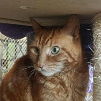 Domestic Shorthair Cat for adoption in Freeport, New York - Tiger