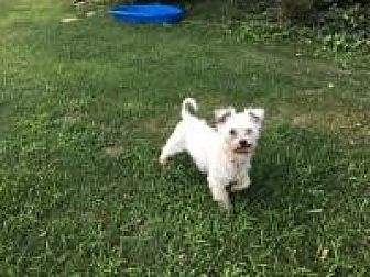 Maltese Dog for adoption in Mount Gretna, Pennsylvania - Fuzzy