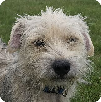 Terrier (Unknown Type, Small) Mix Dog for adoption in Tumwater, Washington - Boomer