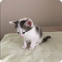 Domestic Shorthair Kitten for adoption in Grand Junction, Colorado - Ruthie