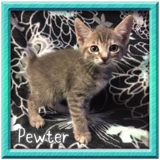 Manx/Domestic Shorthair Mix Kitten for adoption in Bradenton, Florida - Pewter