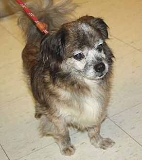 Chihuahua/Pomeranian Mix Dog for adoption in Sparta, New Jersey - Elf