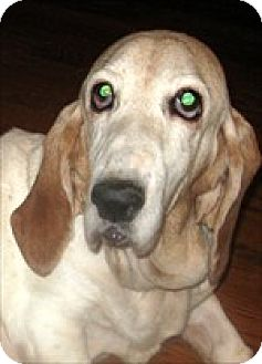 Basset Hound Dog for adoption in Charleston, South Carolina - Amazing Grace