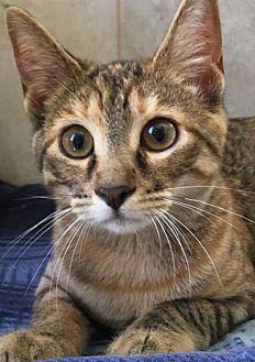 Domestic Shorthair Kitten for adoption in Cuba, New York - Chalisa