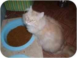Domestic Longhair Cat for adoption in Hamburg, New York - Beegie