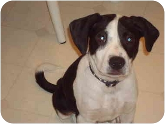 Labrador Retriever/Boxer Mix Puppy for adoption in Covington, Kentucky - Shiloh
