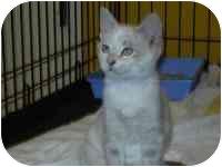 Domestic Shorthair Kitten for adoption in Arlington, Virginia - Jazzy