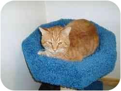 Domestic Shorthair Cat for adoption in Hamburg, New York - Brandon