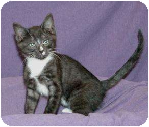 Domestic Shorthair Kitten for adoption in Sacramento, California - Clover
