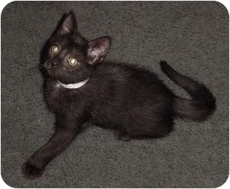 Domestic Shorthair Kitten for adoption in Franklin, North Carolina - Bear