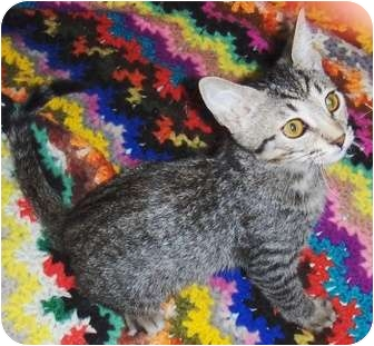Domestic Shorthair Kitten for adoption in Chandler, Arizona - Lil Man