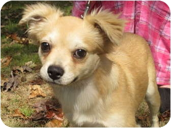 Pekingese/Cavalier King Charles Spaniel Mix Dog for adoption in Allentown, Pennsylvania - Buffy