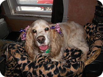 Cocker Spaniel Mix Dog for adoption in Worcester, Massachusetts - Daisy Mae