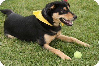 Shepherd (Unknown Type) Mix Dog for adoption in Pickerington, Ohio - Turk