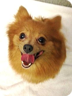 Pomeranian Mix Dog for adoption in Richmond, Virginia - Jemina