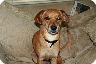 Spaniel (Unknown Type)/Dachshund Mix Dog for adoption in Westfield, Indiana - Coco