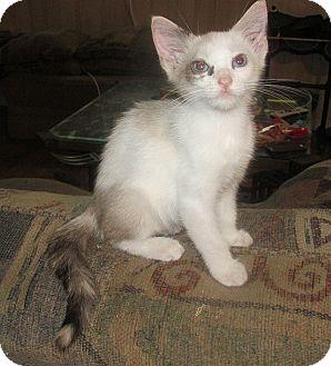 Siamese Kitten for adoption in Tampa, Florida - Rocky