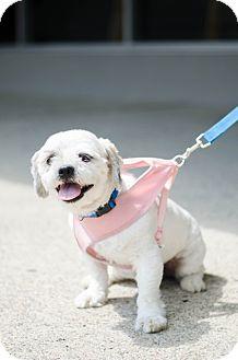 Lhasa Apso/Shih Tzu Mix Dog for adoption in Sparta, New Jersey - Hansel