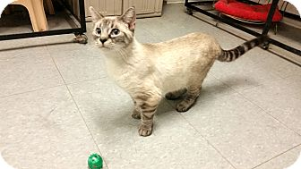 Siamese Cat for adoption in Indianola, Iowa - Shang
