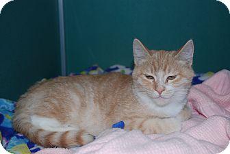 Domestic Shorthair Kitten for adoption in Twin Falls, Idaho - Tarkington