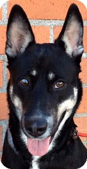 Husky/Shepherd (Unknown Type) Mix Dog for adoption in Los Angeles, California - REILLY (video)