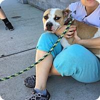Adopt A Pet :: Stella - Park Ridge, NJ