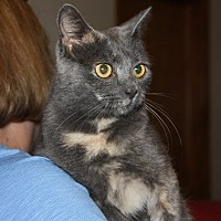Domestic Shorthair Cat for adoption in Staunton, Virginia - Tink