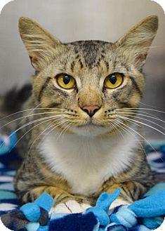 Domestic Shorthair Cat for adoption in Dublin, California - Winston