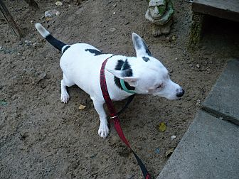 Jack Russell Terrier Dog for adoption in Wisconsin Dells, Wisconsin - Angelo
