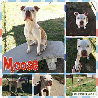 American Pit Bull Terrier Mix Dog for adoption in Colonial Heights animal shelter, Virginia - Moose