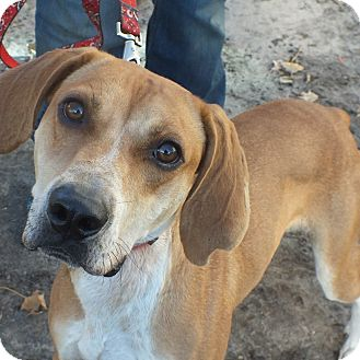 Labrador Retriever/Hound (Unknown Type) Mix Dog for adoption in Minneapolis, Minnesota - Andy