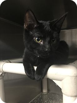 Domestic Shorthair Cat for adoption in Sullivan, Missouri - Norbert