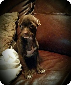 Chihuahua Mix Puppy for adoption in San Antonio, Texas - Louie