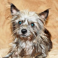 Yorkie, Yorkshire Terrier Mix Dog for adoption in Los Angeles, California - Griffin (CP)