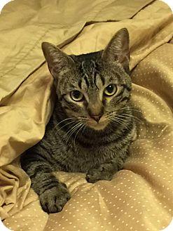 Domestic Shorthair Cat for adoption in Houston, Texas - Eloise