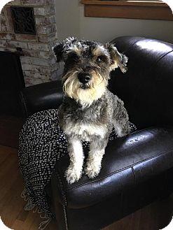 Schnauzer (Miniature)/Poodle (Miniature) Mix Puppy for adoption in Maybrook, New York - Leo