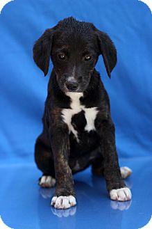 Basset Hound Mix Puppy for adoption in Waldorf, Maryland - Karma