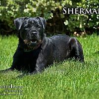 Labrador Retriever/German Wirehaired Pointer Mix Dog for adoption in Fremont, Michigan - Sherman