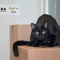 Adopt A Pet :: Char - Vancouver, BC