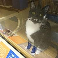 Adopt A Pet :: BOOTS - Diamond Bar, CA