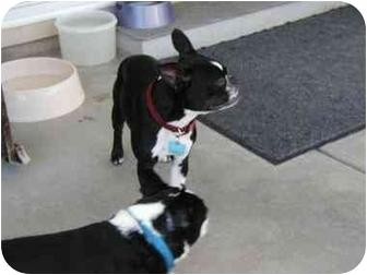 Boston Terrier Dog for adoption in Temecula, California - Bruskie