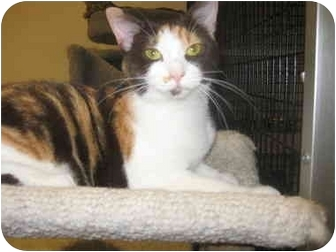 Calico Cat for adoption in Deerfield Beach, Florida - Reese