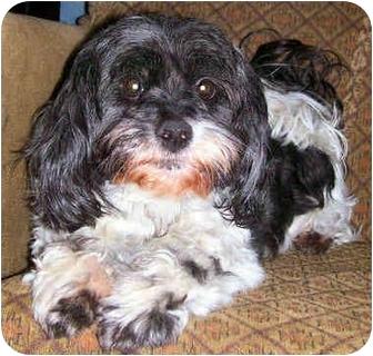 Poodle (Miniature)/Shih Tzu Mix Dog for adoption in Latrobe, Pennsylvania - Reggie