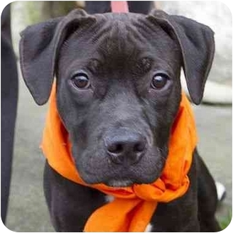 American Pit Bull Terrier Mix Puppy for adoption in Berkeley, California - Elton