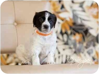 Springer Spaniel Mix Puppy for adoption in Vandalia, Illinois - Kinsley