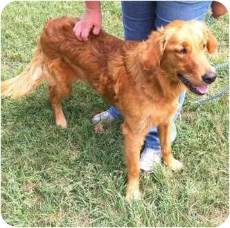 Golden Retriever Dog for adoption in New Canaan, Connecticut - Ginger