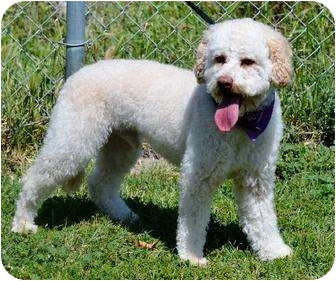 Terrier (Unknown Type, Small)/Poodle (Miniature) Mix Dog for adoption in Corona, California - Pierre, a 1-year old Terri-Poo